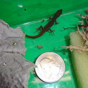 Cameroon Dwarf Gecko