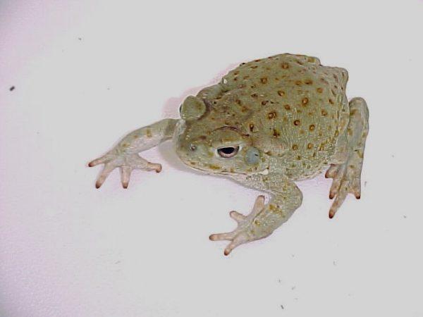 Colorado River Toad large