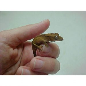 Crested Gecko small