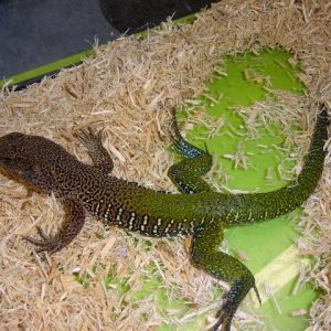 Giant Green Ameiva