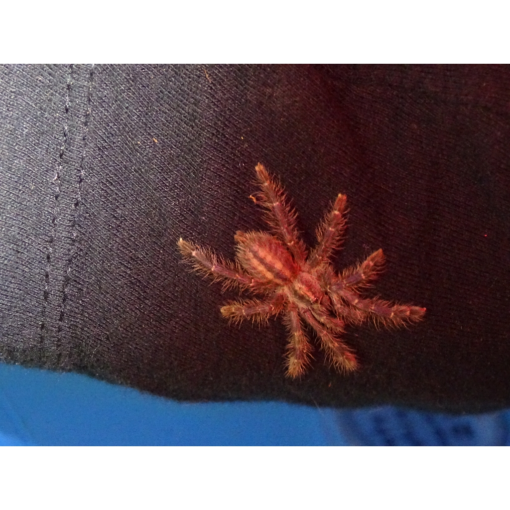 Gooty Sapphire Ornamental 1.5 inch