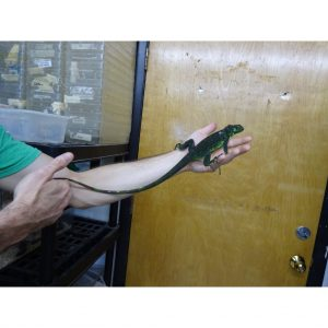 Green Iguana 2 foot