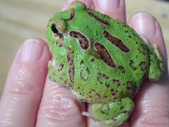 Green Pacman Frog