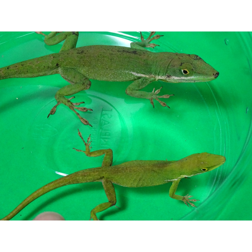 female green anole gives the look while mating. | Lizards ... |Adult Anole Hendersons