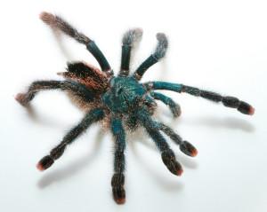 Metallic Pink Toe Tarantula