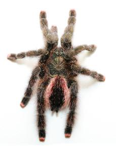 Peruvian Pink Toe Tarantula