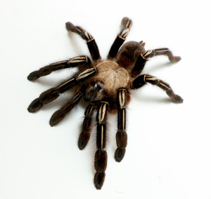 Skeleton Leg Tarantula