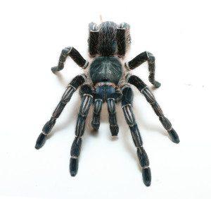 Stripe Knee Tarantula