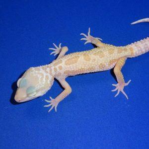 Leopard Gecko Albino Leucistic juvenile