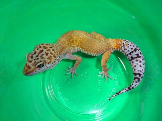 Leopard Gecko High color juvenile
