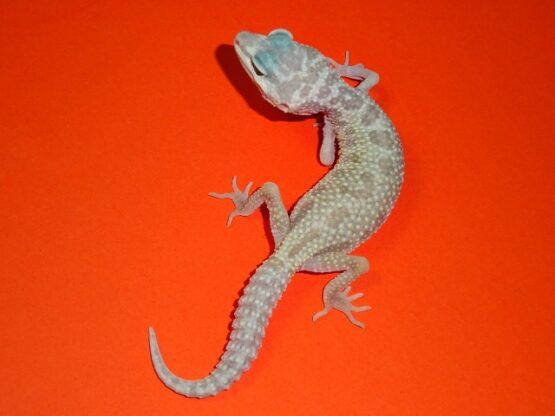 Leopard Gecko Leucistic juvenile