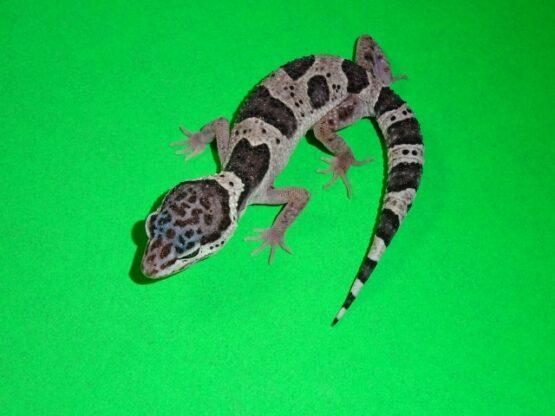 Leopard Gecko Mac Snow juvenile