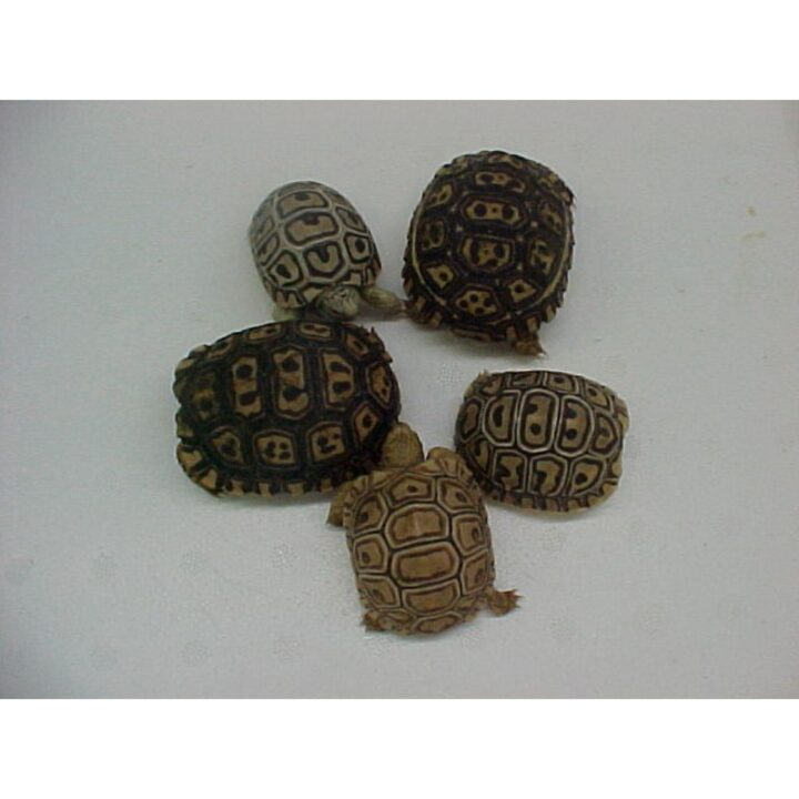 Leopard Tortoise baby