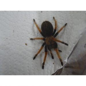 Mexican Fire Leg Tarantula