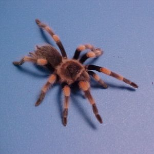 Tarantulas & Spiders