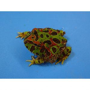 Ornate Horn Frog baby