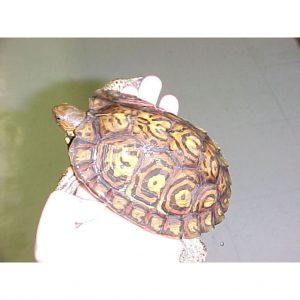 Ornate Wood Turtle 4 - 5 inch