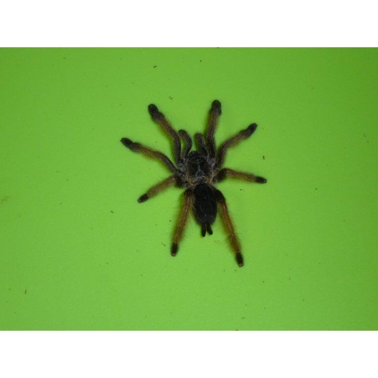 Panama Blonde Tarantula 2 inch