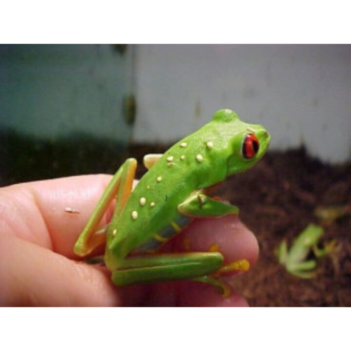Red Eyed Tree Frog adult