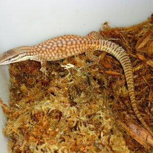 Red Spinytail Monitor