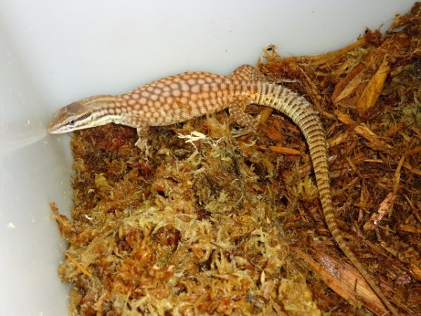Ackie Monitor (red) - ...