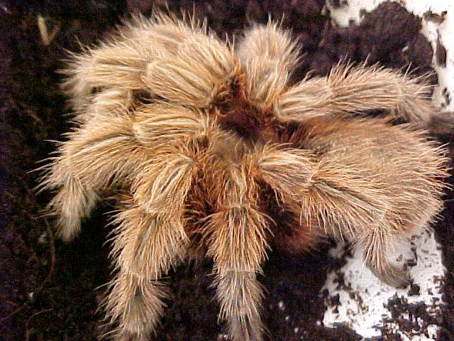 Rose Hair Tarantula Adult Strictly Reptiles