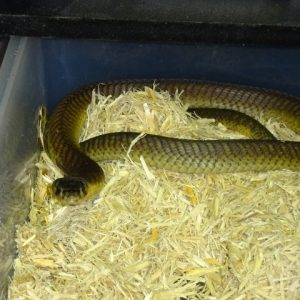 snouted Egyptian Cobra small
