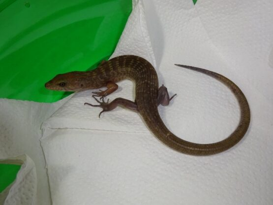 Solomon Island Ground Skink
