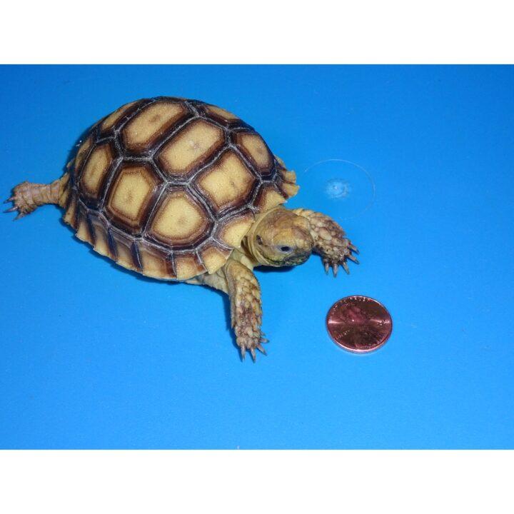 Sulcata Tortoise 3 inch