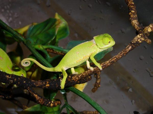Veiled Chameleon baby