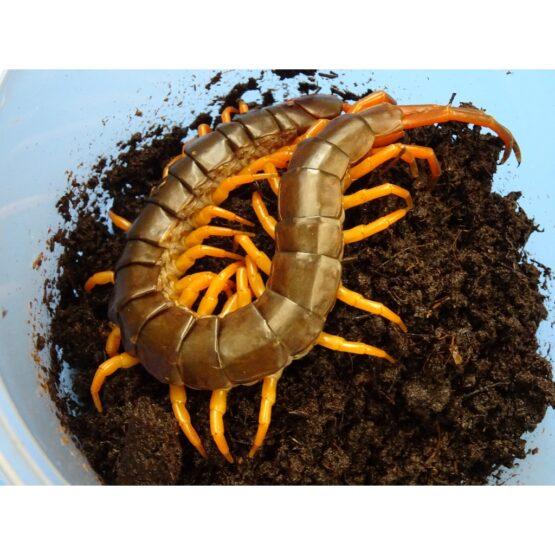 Scorpions & Invertebrates