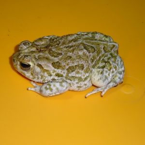 Western Plains Toad