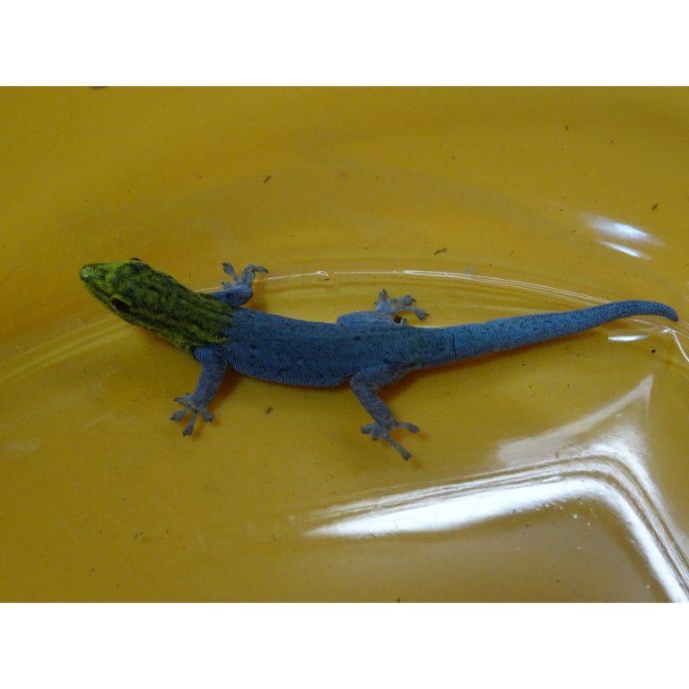 Yellow Head Gecko