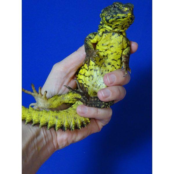 Yellow Niger Uromastyx