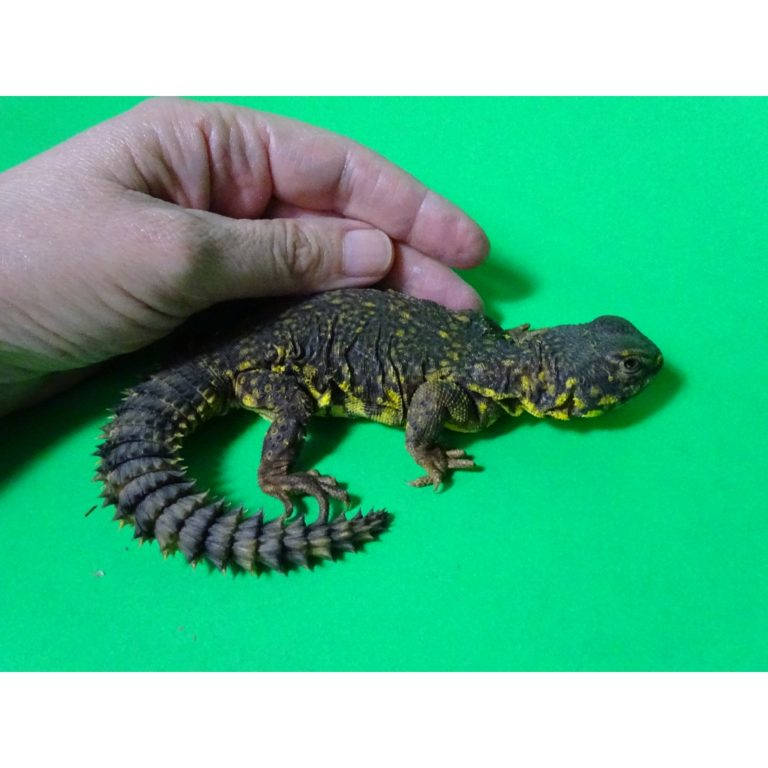 Yellow Niger Uromastyx baby - small