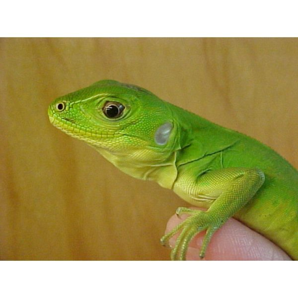 Mexican Spinytail Iguana baby