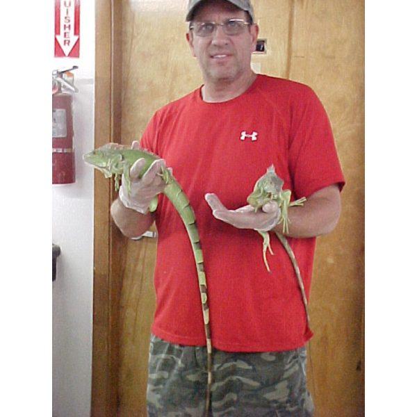 Green Iguana 3 foot
