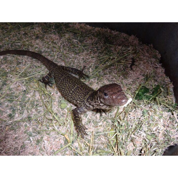 Brown Roughtneck Monitor juvenile
