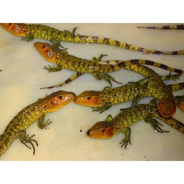 Caiman Lizard babies