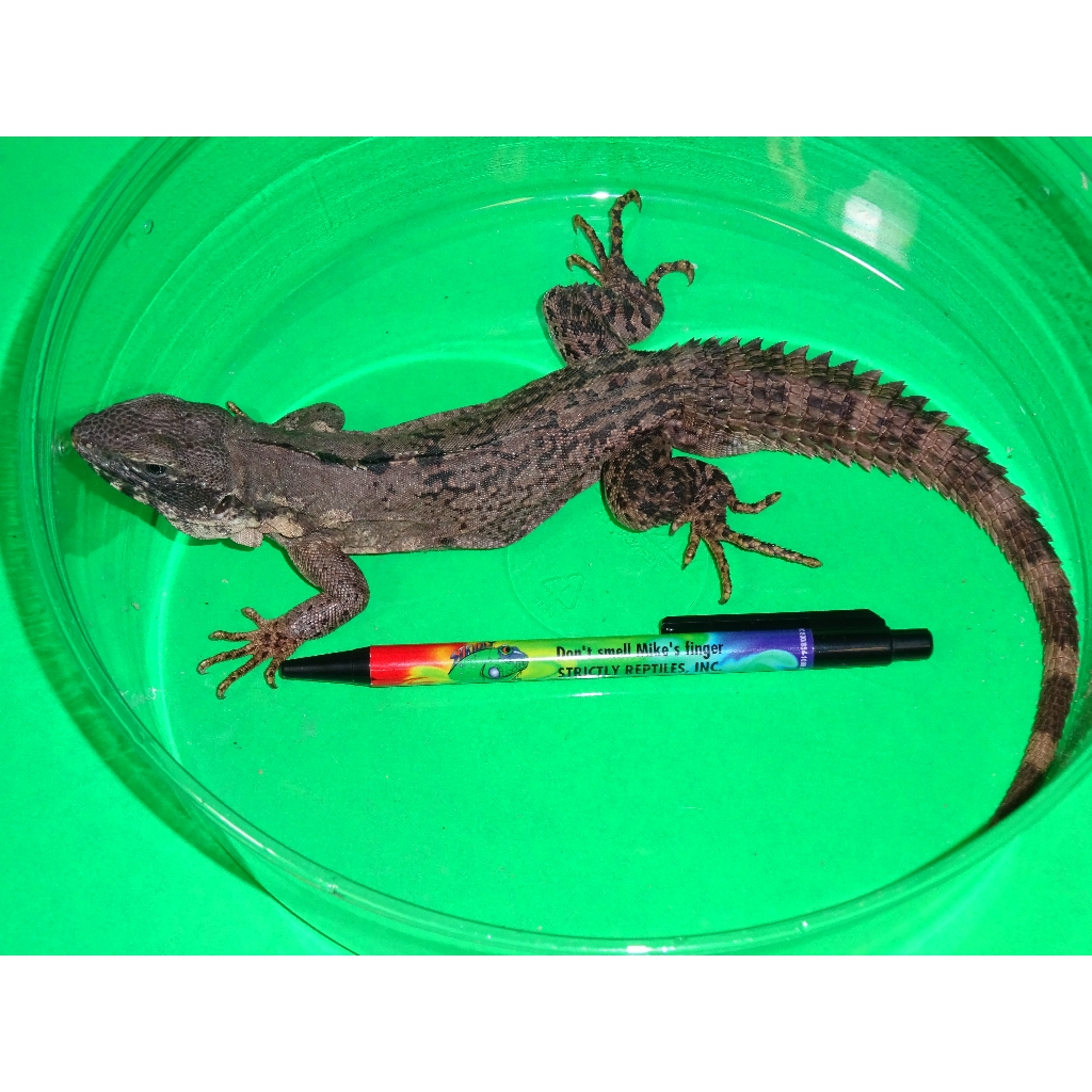 Clubtail Iguana medium