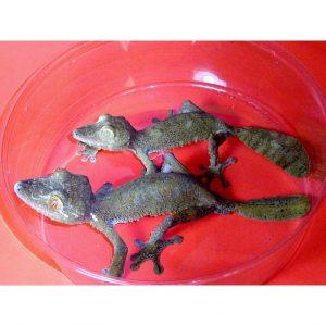 Giant Leaf Tail Geckos pair