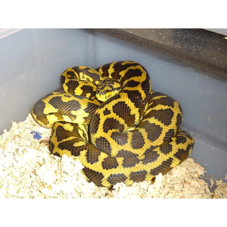 New Guinea Carpet Python 5 foot
