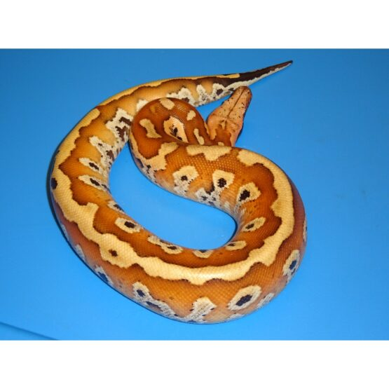Red Blood Python juvenile