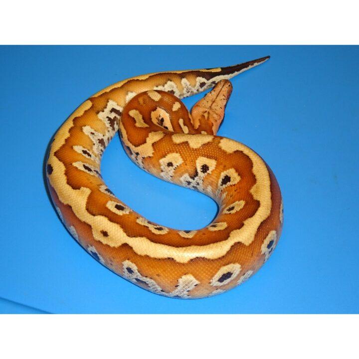 Red Blood Python juvenile