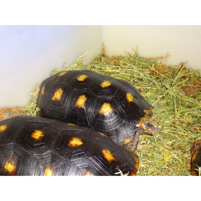 Red Foot Tortoise 10-11 female