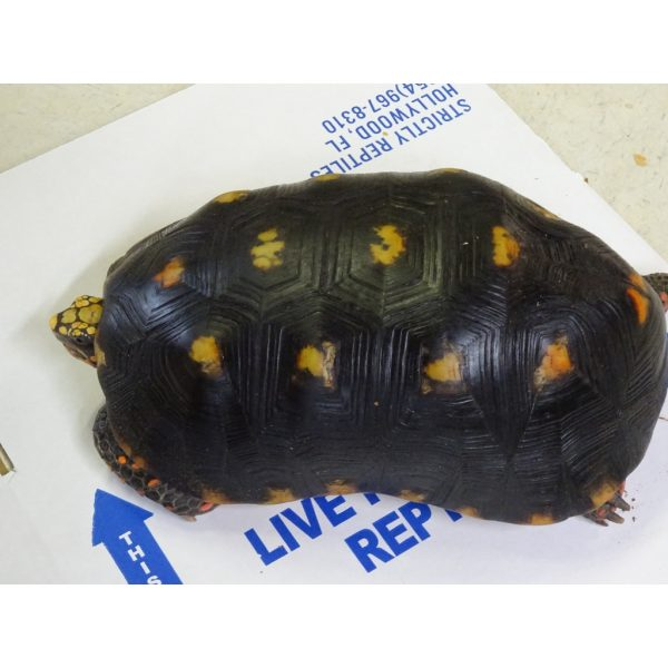 Red Foot Tortoise 12-13 inch males