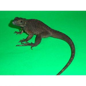 Rino Iguana baby