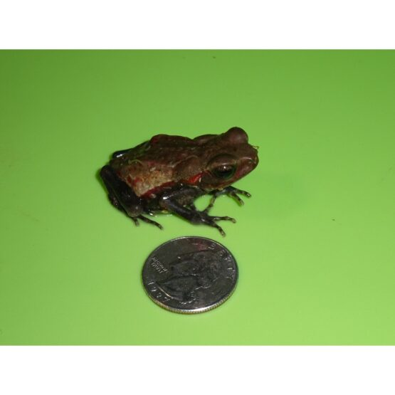 Smooth Sided Toad small