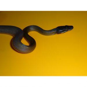 White Lip Python juvenile
