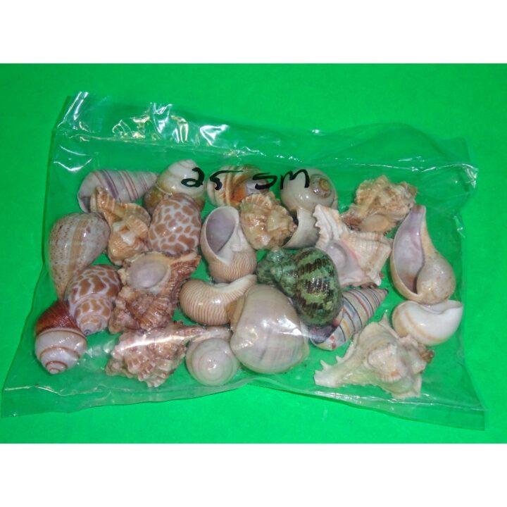 Fancy Shells small 25 lot